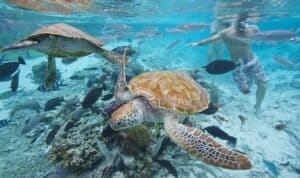 This image has an empty alt attribute; its file name is Bora-Bora-Turtle-Center-300x178.jpg