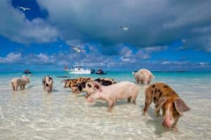 Pig Beach, The Exumas, Bahamas, Exumas beaches, Bahamas beaches, best beaches of the Bahamas, the Exumas Travel guide, top beach destinations, Exumas Hotels, Exumas restaurants, things to do in the Exumas