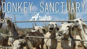 Donkey Sanctuary Aruba, Things to do in Aruba, Aruba, Leeward Antilles, Lesser Antilles, best beaches of Aruba, Aruba beaches, best beaches of the Caribbean, Aruba Travel Guide, best Aruba hotels, best Aruba restaurants, best Aruba bars, Aruba Attractions, Aruba Tours