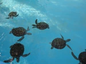 Sea Turtle Hatchery, 10 best beaches in the world, 20 best beaches in the world, beach travel destinations, Cayo Largo hotels, Playa Paraiso Cayo Largo Cuba, world's best beaches