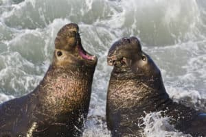 Piedras Blancas Elephant Seal Rookery, Cambria CA, Cambria CA travel guide, best hotels in Cambria, best restaurants in Cambria, best bars in Cambria, best things to do in Cambria, Cambria attractions, Central California beaches, California beaches