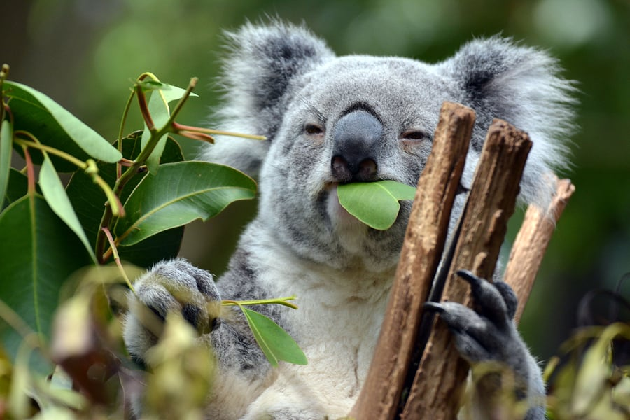 Lone Pine Koala Sanctuary, Brisbane Australia, Brisbane Beaches, Australia beaches, best hotels in Brisbane, best restaurants in Brisbane, best nightlife in Brisbane, things to do in Brisbane, Brisbane attractions, beach travel, beach travel destinations, Brisbane tours