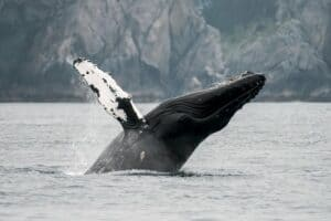 Juneau Shore Excursion, Juneau Wildlife Whale Watching & Mendenhall Glacier, Best Alaska Cruise Shore Excursions, Alaska Cruise Ports, Alaskan Cruise shore excursions, best cruise deals, cruise deals, all about cruises, best priced cruises